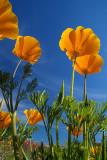 Poppies Skyward