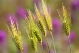 Spring Grasses  Owls Clover Backdrop