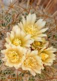 Steno Cactus