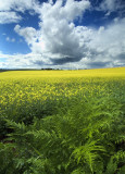Shaw - Mustard Weed & Ferns