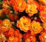 New Garden Flowers Summer-2007