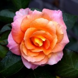 My Favorite Roses -Untouched