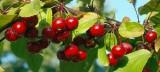 Autumn  Berries-2007