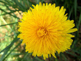 Taraxacum officinale regrat Sunday, May 05, 2013
