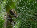 Wasp spider Argiope bruennichi osasti pajek dsc_0089Nzpb