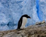 Gentoo Penguin 1