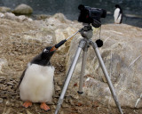 Gentoo Penguin Lights Camera Action