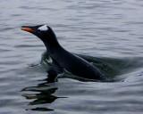 Gentoo Penguin 4