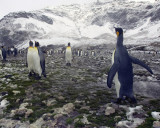 Fortuna Bay King Penguin Colony 2