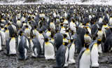 Fortuna Bay King Penguin Colony 3