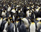 Fortuna Bay King Penguin Colony 4