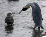 King Penguin and a Skua