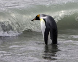 KIng Penguin at the beach