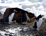 Gentoos at Yankee Harbor Antarctica