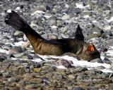 Fur seal Yankee Harbor Antarctica