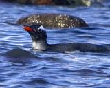 Gentoo Penguin Swimming