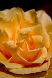 November 18th - Sweet As A Rose