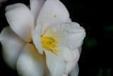 March 11th Alt - Camelia Blossom
