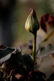 March 11th Alt - Rosebud