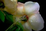 April 15th - Roses