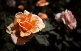 April 7th - Roses