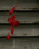 The red vine.