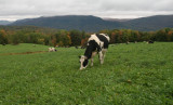 Dairy cows.