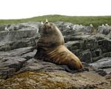 Sea Lion, Stellar, Bull-071107-Sea Otter Island, Gulf of Alaska-0517.jpg