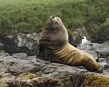 Sea Lion, Stellar, Bull-071107-Sea Otter Island, Gulf of Alaska-0522.jpg
