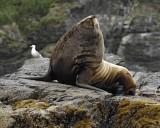 Sea Lion, Stellar, Bull-071107-Sea Otter Island, Gulf of Alaska-0553.jpg