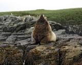 Sea Lion, Stellar, Bull-071107-Sea Otter Island, Gulf of Alaska-0593.jpg