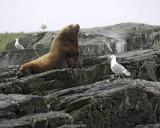 Sea Lion, Stellar, Bull-071107-Sea Otter Island, Gulf of Alaska-02820.jpg