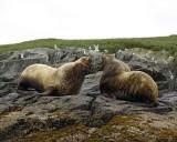 Sea Lion, Stellar, Bull, 2 barking at each other-071107-Sea Otter Island, Gulf of Alaska-0457.jpg