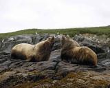 Sea Lion, Stellar, Bull, 2 barking at each other-071107-Sea Otter Island, Gulf of Alaska-0460.jpg
