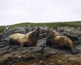Sea Lion, Stellar, Bull, 2 barking at each other-071107-Sea Otter Island, Gulf of Alaska-0461.jpg