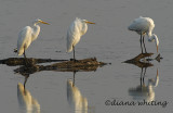 3 Egrets