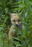 Diana Whiting Gallery: Foxes