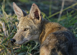 Gallery: Coyote