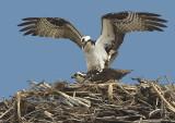 Gallery: Osprey, Owls, Raptors and Birds of Prey