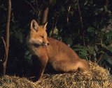 Last light of the Day on Fox Kit
