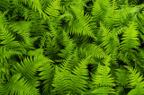 Tangle of Ferns