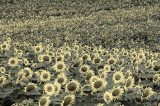Sunflower Explosion