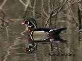 Wood Duck 5