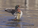 Wood Duck Flushing 2
