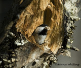 Chickadee Excavating a Nest