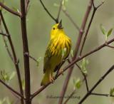 Yellow warbler Warbling 2
