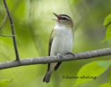 Red Eyed Vireo Singing