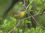 Common Yellow Throat female