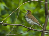 Wood Thrush Singing 2