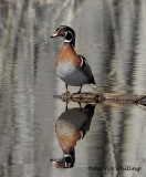 Wood Duck.